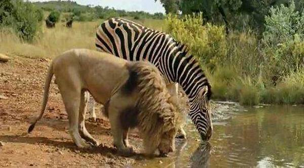 Lion-and-zebra-drinking-water